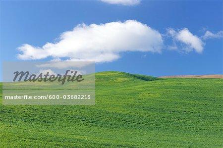 Champ de blé près de Ronda, la Province de Malaga, Andalousie, Espagne