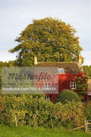 Ancienne ferme recouverte de lierre de Boston rouge en automne, les Cotswolds, Gloucestershire, Angleterre