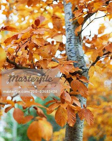 Nahaufnahme des Herbstes verlässt, Cotswolds, Gloucestershire, England