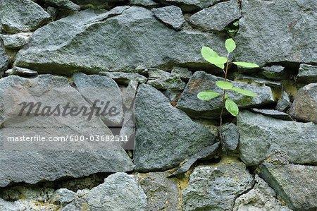Sappling wachsen in Steinmauer, Klein-Auheim, Hanau, Main-Kinzig-Kreis, Hessen