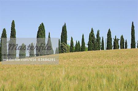 Cyprès et champ de blé près de Sienne, Italie