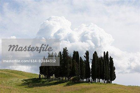Cyprès en champ, Val d'Orcia, Italie