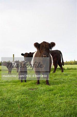 Gebänderte Galloway Kühe, Cotswolds, Gloucestershire, England