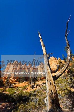 Arbre mort avec Formation de roche de grès rouge, Parc National de Bryce Canyon, Utah, USA