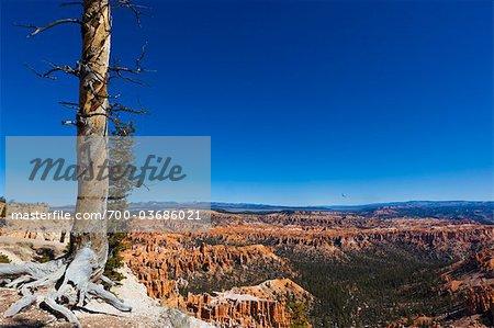 Arbre mort aperçu du Parc National de Bryce Canyon, Utah, USA