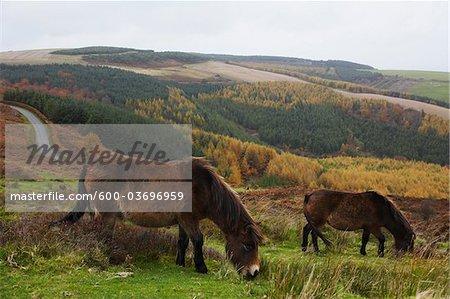Exmoor Ponies, Exmoor National Park, Somerset, England, United Kingdom, Europe