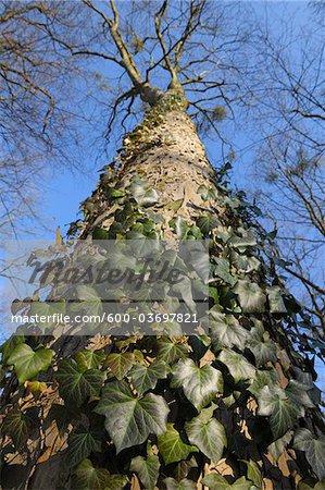 Ivy on Tree, Aschaffenburg, Franconia, Bavaria, Germany