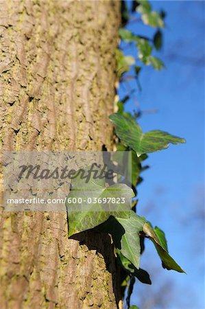 Lierre sur arbre, Aschaffenburg, Franconie, Bavière, Allemagne