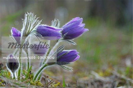 Fleurs, Wuerzburg, pasque Franconie, Bavière, Allemagne