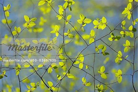 Feuilles de hêtre, Aschaffenburg, Franconie, Bavière, Allemagne