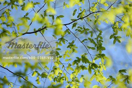 Beech Leaves, Aschaffenburg, Franconia, Bavaria, Germany