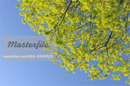 Maple Tree, Aschaffenburg, Franconia, Bavaria, Germany