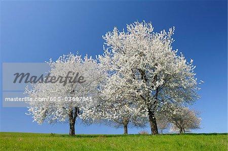 Cherry Trees, Moembris, Aschaffenburg, Franconia, Bavaria, Germany