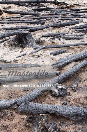 Burnt Logs in Forest, British Columbia, Canada