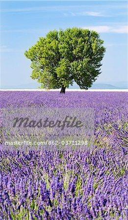 Arbre dans un champ de lavande, plateau de Valensole, Provence, France