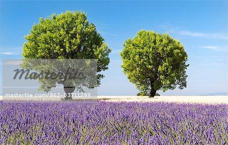 Deux arbres dans un champ de lavande, Provence, France