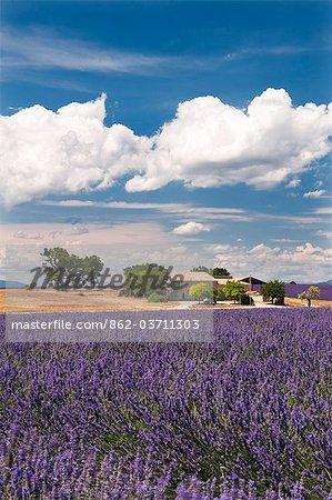 Ferme dans un champ de lavande, Provence, France