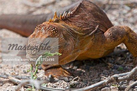 Galapagos Islands, A land iguana on North Seymour island feeds on the green shoots of a bush.