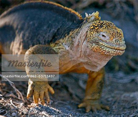 Galapagos Islands, A land iguana on South Plaza island.