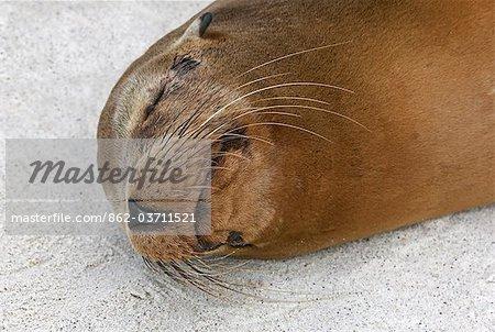 Galapagos Islands, A Galapagos sea lion sleeps on the sandy beach of Espanola island.