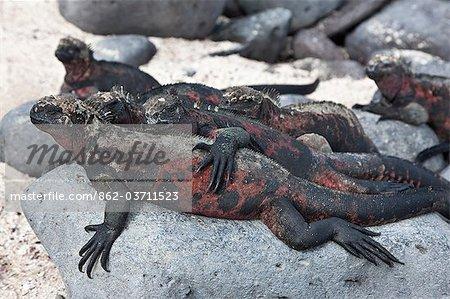 Galapagos Islands, Marine iguanas sunbathe on Espanola island, increasing body temperature to the optimum 35.5 dc