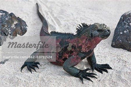 Galapagos Islands, A Marine iguana on the sandy beach of Espanola island.