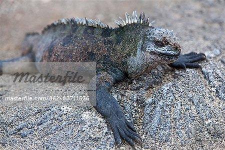 Galapagos Islands, A Marine iguana warming itself on lava rocks on Fernandina island
