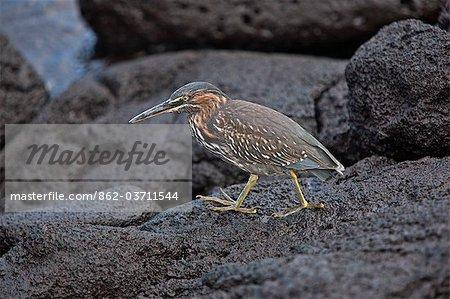 Galapagos Islands, A striated heron on lava rocks on Fernandina island.