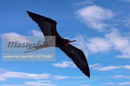 Galapagos Islands, A magnificent frigatebird in flight off Bartolome Island.