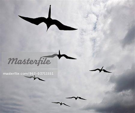 Aux îles Galapagos, frégates en vol au large de l'île Bartolomé.