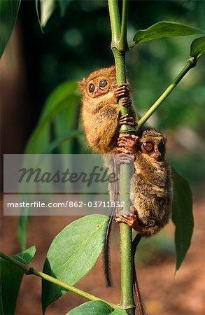 Indonésie, Sulawesi. Pygmées Tarsiers, (Tarsius pumilus) sur les îles de Sulawesi. Cette espèce vit dans les forêts tropicales montagnardes moussues, partie supérieures du Sulawesi central. Il a une adaptation particulière dans ses vertèbres du cou pour l'aider à tourner sa tête à 180 degrés. Il faut le faire parce que ses yeux ne peut pas bouger.