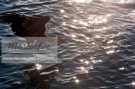 Malawi, le lac Malawi. Un pygargue vocifère effleure la surface du lac Malawi, à la recherche de poissons.