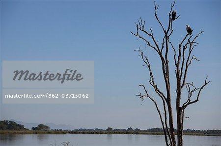 Malawi, haute vallée de Shire, Parc National de Liwonde. Africain aigles perchés dans une branche morte, surplombant la rivière Shire.
