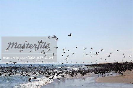 Afrique, Namibie, côte des squelettes. Entre Walvis Bay & Swakopmund troupeau de cormorans du Cap sur les eaux du courant de Benguela