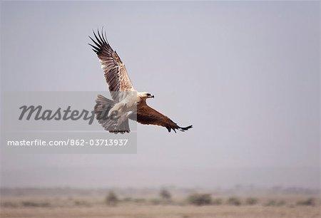 Tanzania, Serengeti. An African Tawny eagle takes off from the vast Seregeti plains.