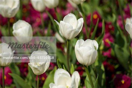 Tulpen, Mirabellgarten, Salzburg, Salzburger Land, Österreich