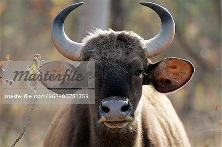 Indien, Madhya Pradesh, Satpura Nationalpark. Eine neugierige Gaur oder wilden Bison direkt in die Kamera starrt.