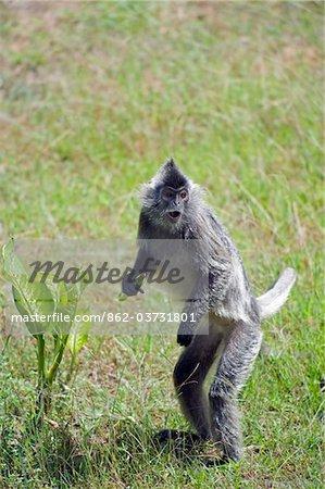 South East Asia, Malaysia, Borneo, Sabah, Labuk Bay Proboscis Monkey Sanctuary, Silver Leaf Langur monkey