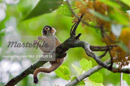 Pérou. Un singe de l'écureuil se nourrit de fleurs dans la forêt tropicale luxuriante au bord de la rivière Madre de Dios de.