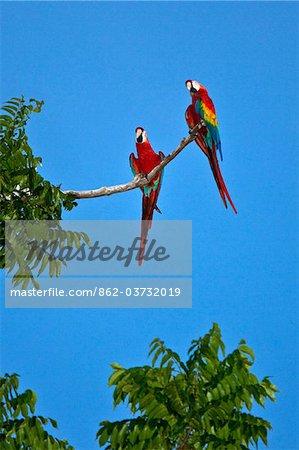 Pérou. Aras rouges colorés percher haut au-dessus de la canopée de la forêt près des rives du fleuve Madre de Dios