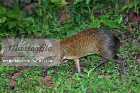 Pérou. Une brune aguti dans la forêt tropicale du bassin amazonien.