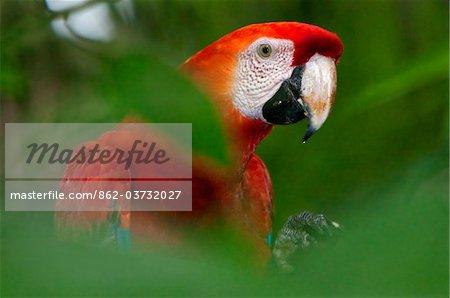 Pérou. Un ara rouge brillant dans la forêt tropicale du bassin amazonien.