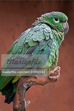 Pérou. Un perroquet vert du genre Amazona.