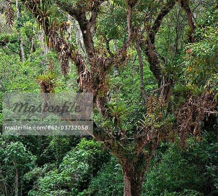 Peru, Epiphytic bromeliads festoon a tree in the cloud forest of the Urubamba Valley near Choq esuysuy.