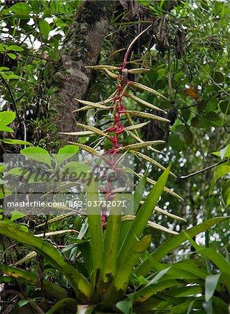 Peru, The striking Guzmania bromeliad growing beside the Urubamba River near Aguas Calientes is both terrestrial and epiphytic.
