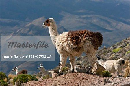 Pérou, lamas dans l'altiplano sombre des hautes Andes près de Canyon de Colca.