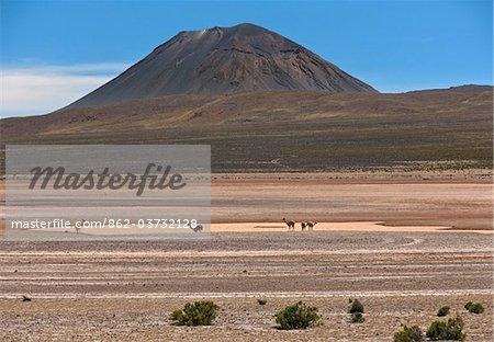 Pérou, Vicunas sur les marais salants de la Laguna de Salinas saisonniers sous le volcan El Misti près d'Arequipa.