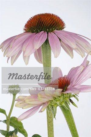 Échinacée (Echinacea)