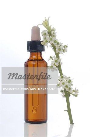 Fleur de Bach remède européen Houx (commun Ilex aquifolium)