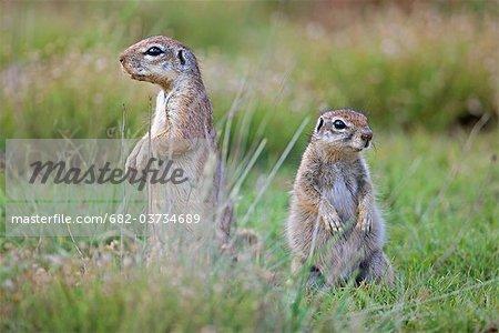 Zwei alarmieren Erdhörnchen, Jamestown District, Provinz Ostkap, Südafrika